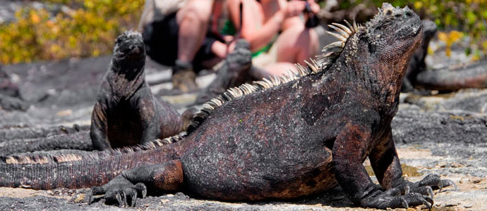 Marine Iguanas on the Galapagos Islands, Ecuador