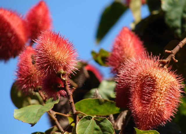 Achiote - Amazon Rainforest