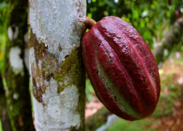 Cocoa Tree - Amazon Rainforest