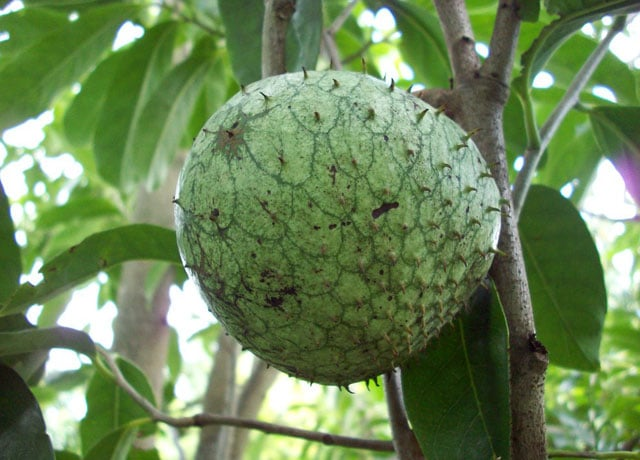 Mountain Soursop - Amazon Rainforest