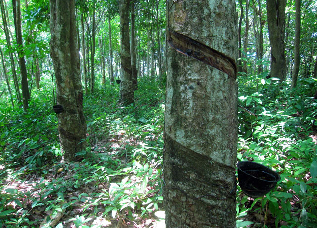 Rubber Tree - Amazon Rainforest
