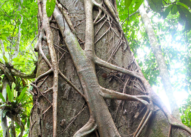 Strangler Fig - Amazon Rainforest
