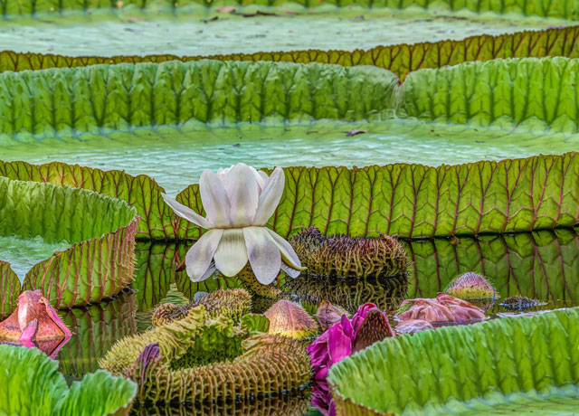 Giant Water Lily - Amazon Rainforest