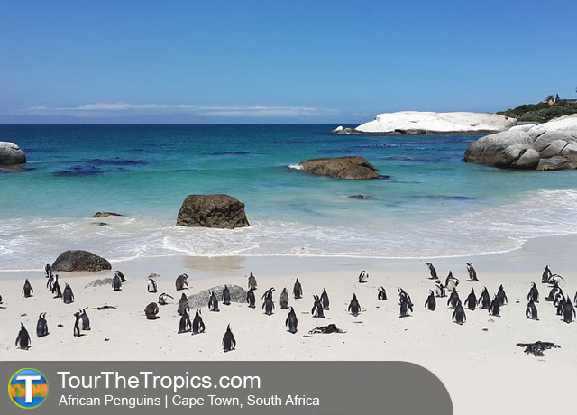 African Penguin, South Africa - Top Attractions in South Africa