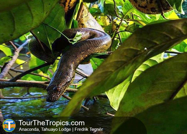 Anaconda - Wildlife Sightings in the Tropics