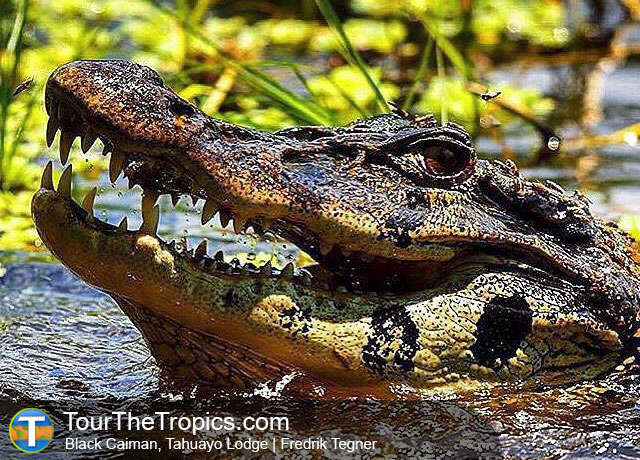 Black Caiman - Amazon Survival Tour