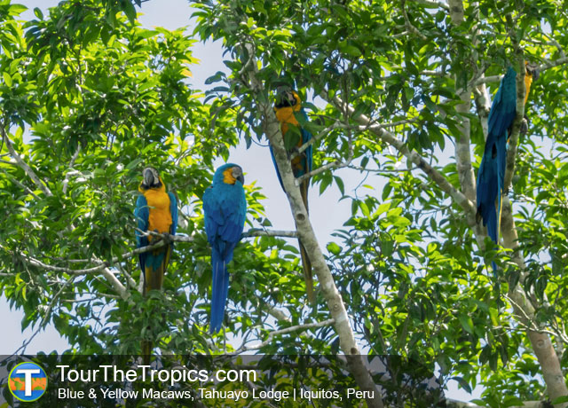 Blue & Yellow Macaws - Amazon Survival Tour
