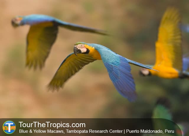Blue & Yellow Macaws, Tambopata Research Center, Peru