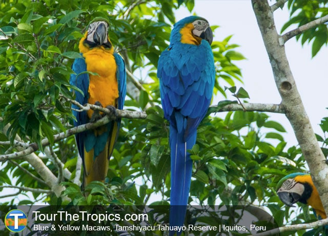 Ecuador or Peru - Blue & Yellow Macaws, Iquitos, Peru