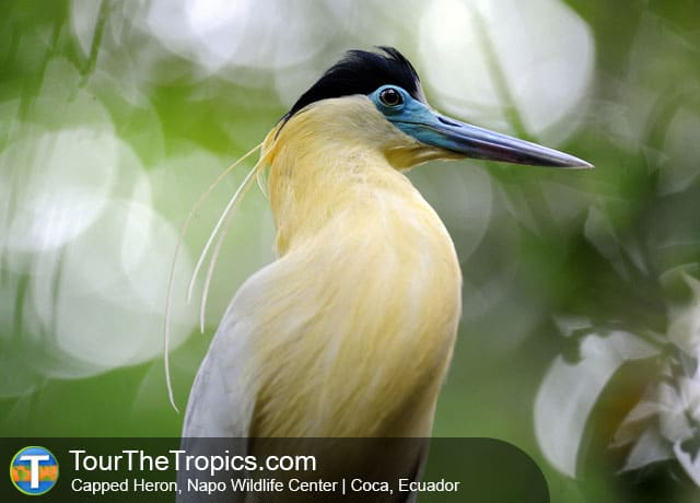 Capped Heron, Napo Wildlife Center, Ecuador