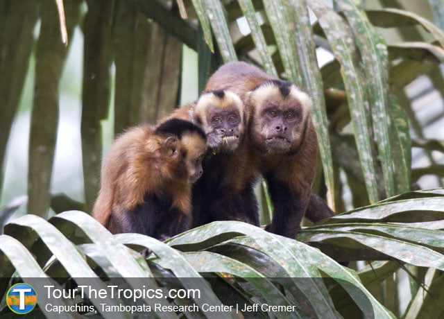 Capuchins Monkeys, Tambopata National Reserve, Peru