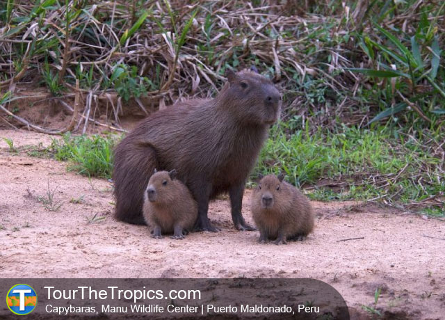 Capybaras at Manu Wildlife Center
