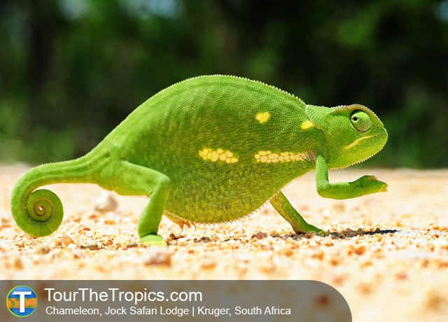 Chameleon in Kruger - Top Attractions in South Africa