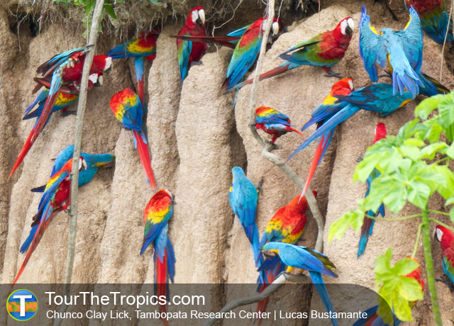 Chuncho Clay Lick - Best Macaw Clay Licks in Peru