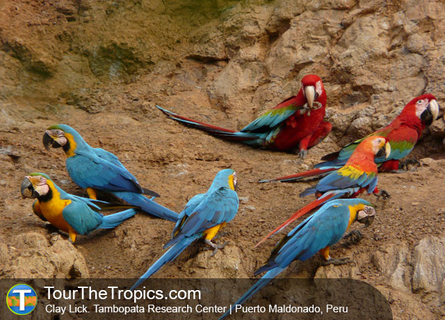 Clay Lick at Tambopata Research Center - Best Macaw Clay Licks in Peru