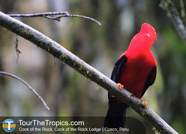 Cock of the Rock - Amazon Jungle Adventure Tours In Peru
