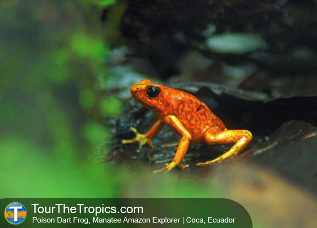 Dart Frog from the Manatee Explorer, Ecuador