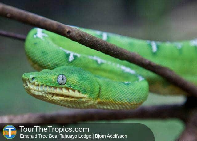 Emerald Tree Boa - Amazon Jungle Adventure Tours In Peru