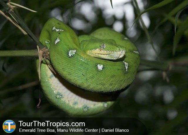 Emerald Tree Boa, Manu Wildlife Center, Peru