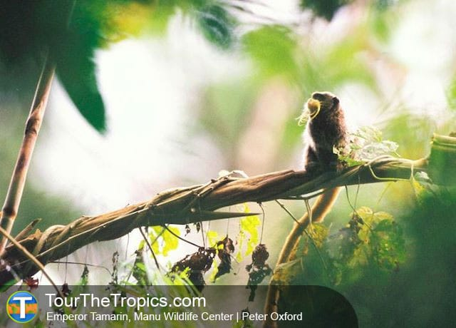 Emperor Tamarin - Amazon Jungle Adventure Tours In Peru
