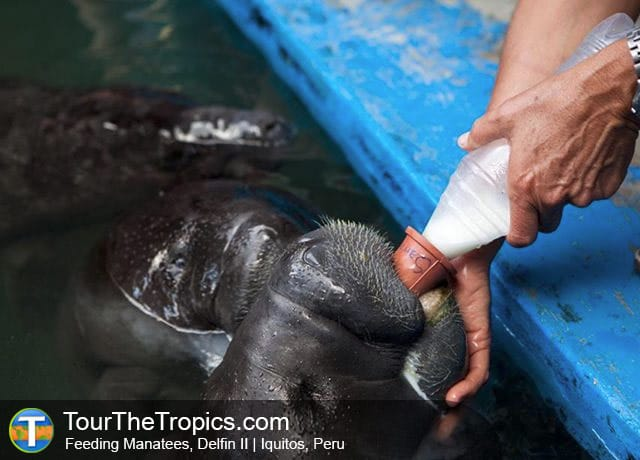 Manatees - Things to do in the Amazon Rainforest