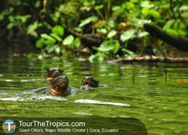 Giant Otters, Napo Wildlife Center - Top 10 Luxury Amazon Tours