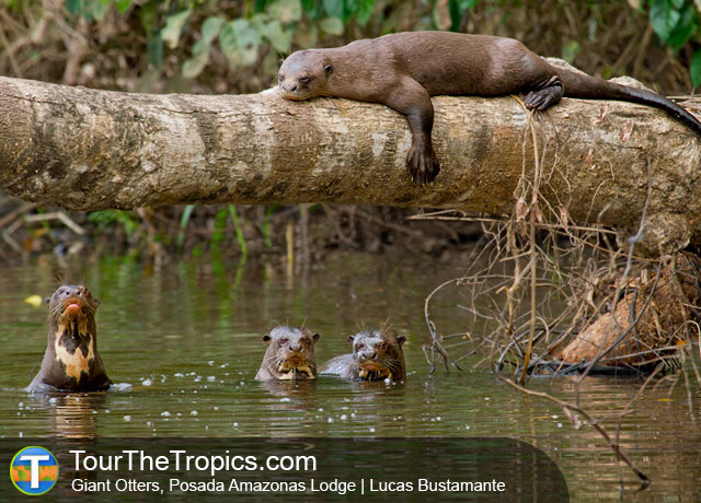 Giant Otters - Jungle Lodges Peru