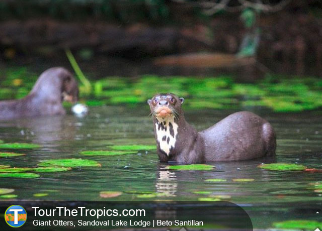 Ecuador or Peru - Giant River Otters, Sandoval Lake Lodge