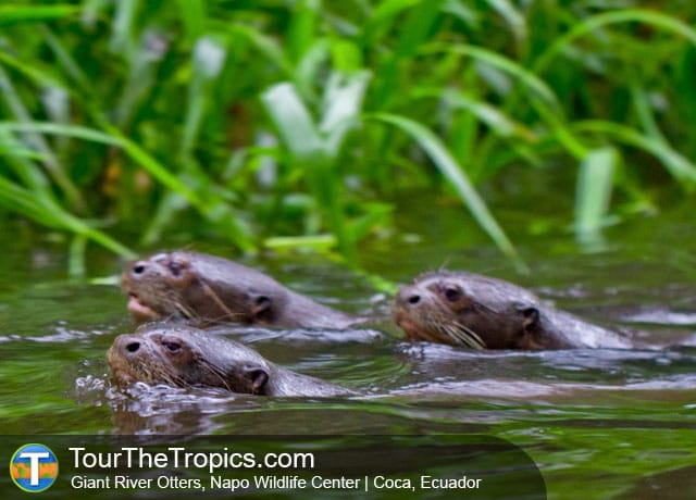 Otters, Luxury Napo Wildlife Center, Ecuador