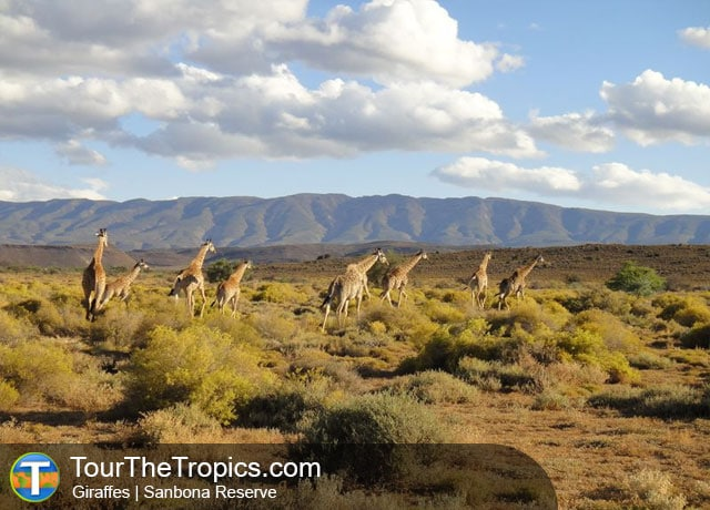 Giraffes, Sanbona Reserve - Top 5 savanna Tours in South Africa
