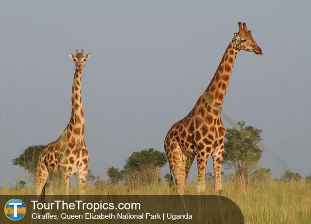 Giraffes, Uganda - Tourist Attractions in Uganda