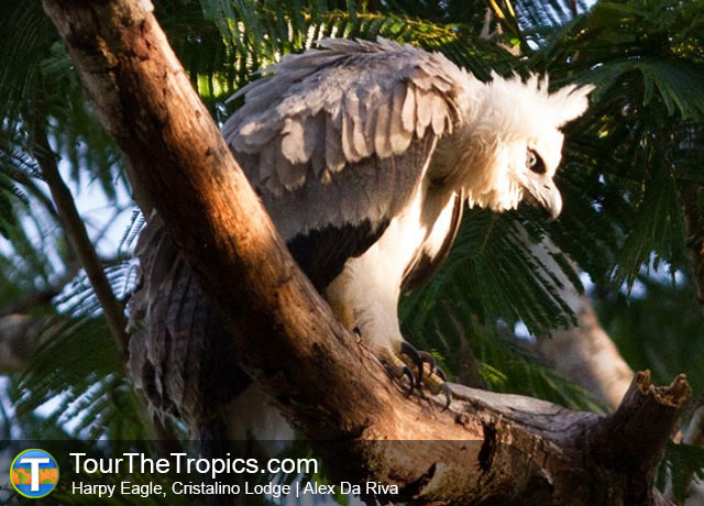 Harpy Eagle Seen While Birding in the Brazilian Amazon from Cristalino Lodge