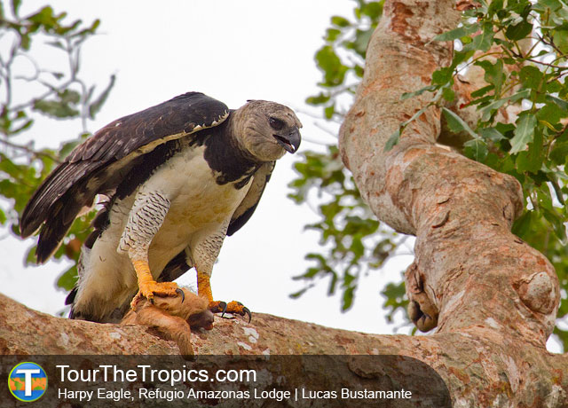 Harpy Eagle - Wildlife Sightings in the Tropics