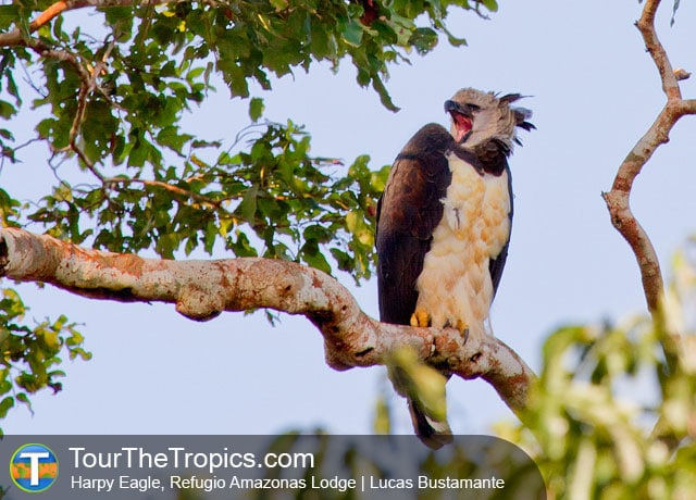 Harpy Eagle at Refugio Amazonas Lodge - Things do do in the Amazon rainforest