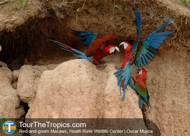 Heath River Peru - Macaws