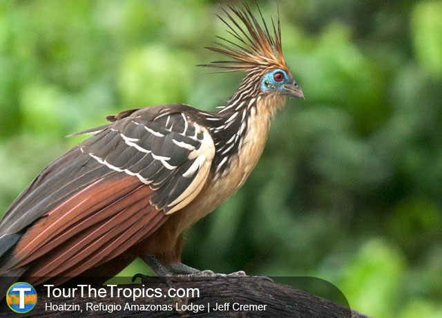Hoatzin at the Refugio Amazonas Lodge, Tambopata, Peru