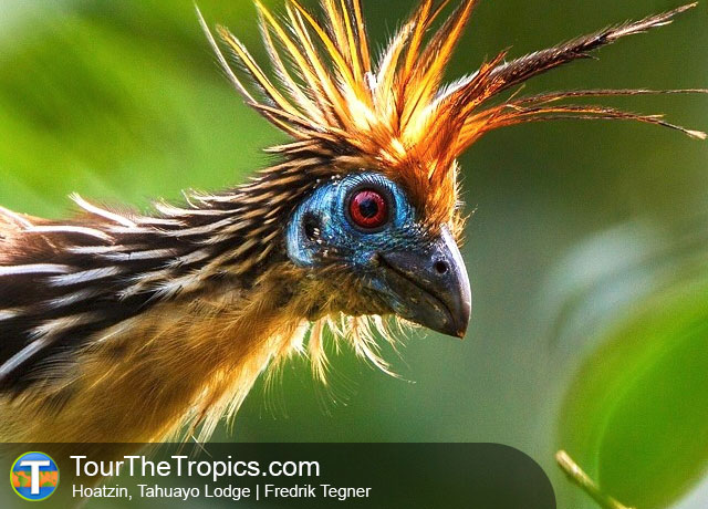 Hoatzin - Iquitos Reserves