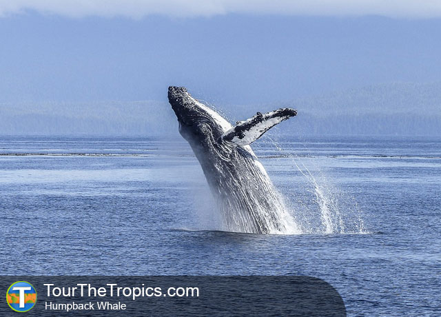Humpback Whale - Wildlife Sightings in the Tropics
