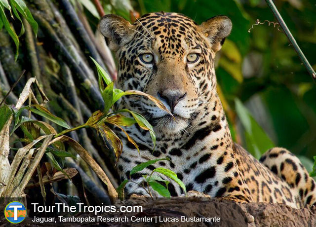 Jaguar in Peru's Amazon Rainforest