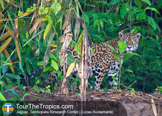 Jaguar - Wildlife Sightings in the Tropics