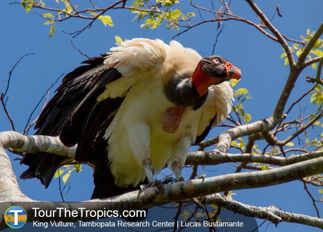 King Vulture at the Refugio Amazonas Lodge, Peru Birding
