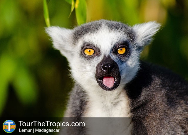 Lemur - Wildlife Sightings in the Tropics