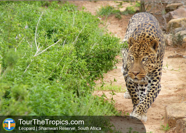 Leopard - Shamwari Game Reserve Lodges