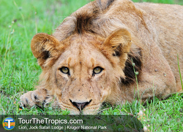 Lion - Top 5 savanna Tours in South Africa