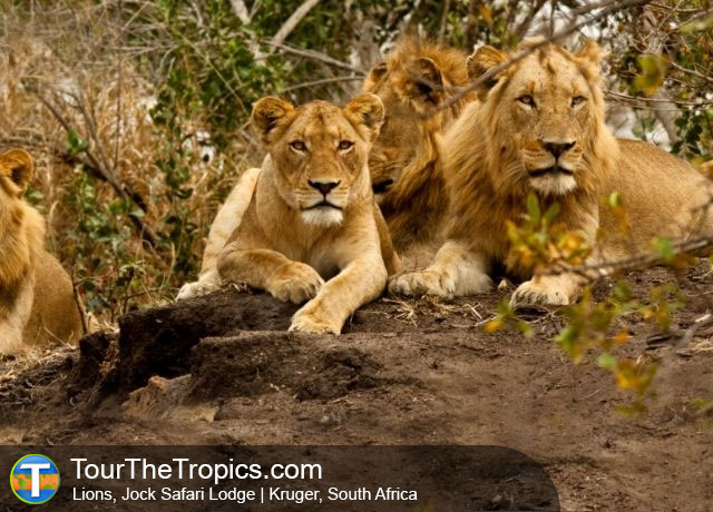 Lion in Kruger - Top Attractions in South Africa