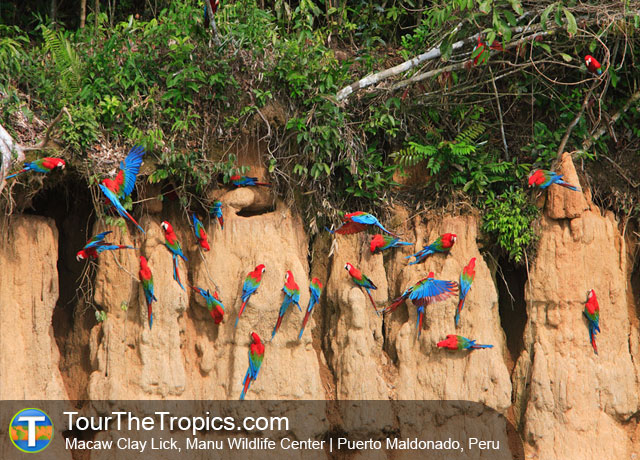 Macaw Clay Lick - Best Macaw Clay Licks in Peru