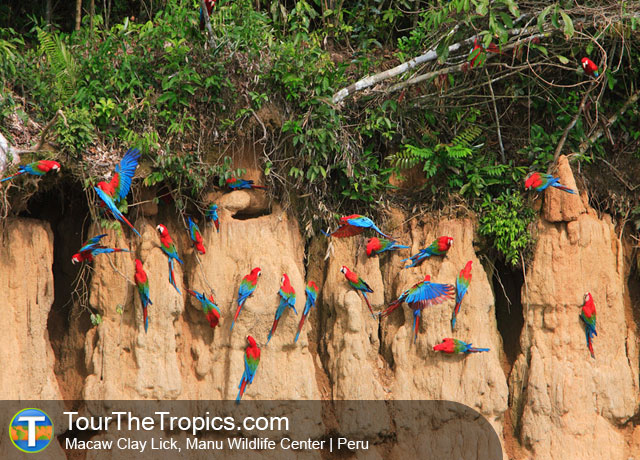 Macaws - Manu Tour Programs