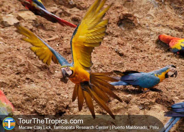 Ecuador or Peru - Blue & Yellow Macaws