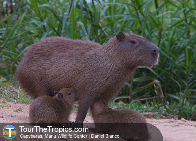 Manu Wildlife Center Capybara, Puerto Maldonado, Peru