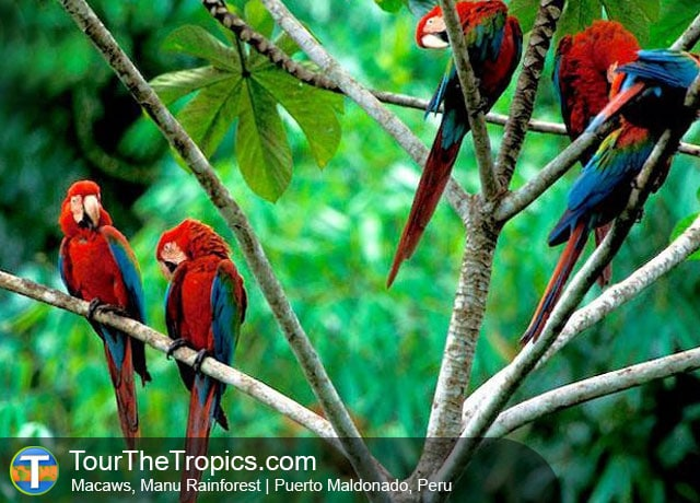 Manu Macaws - Amazon Jungle Adventure Tours In Peru